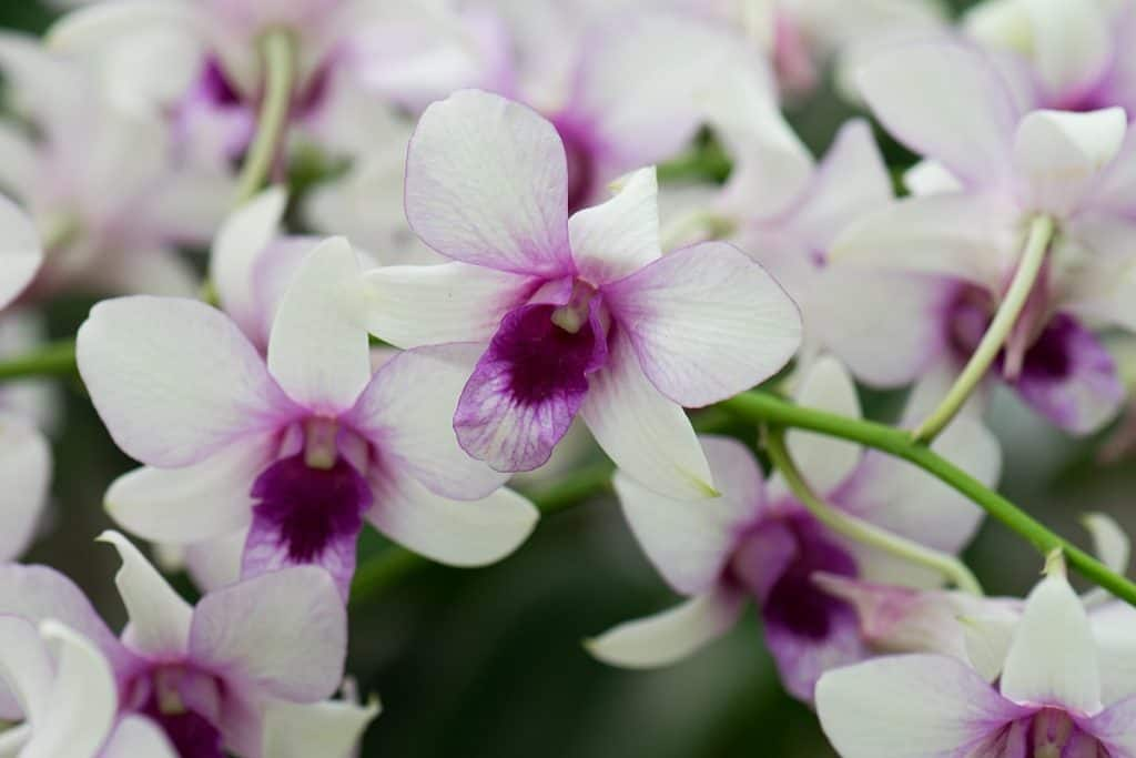 Are Orchids Poisonous to Cats, Dogs, or Humans