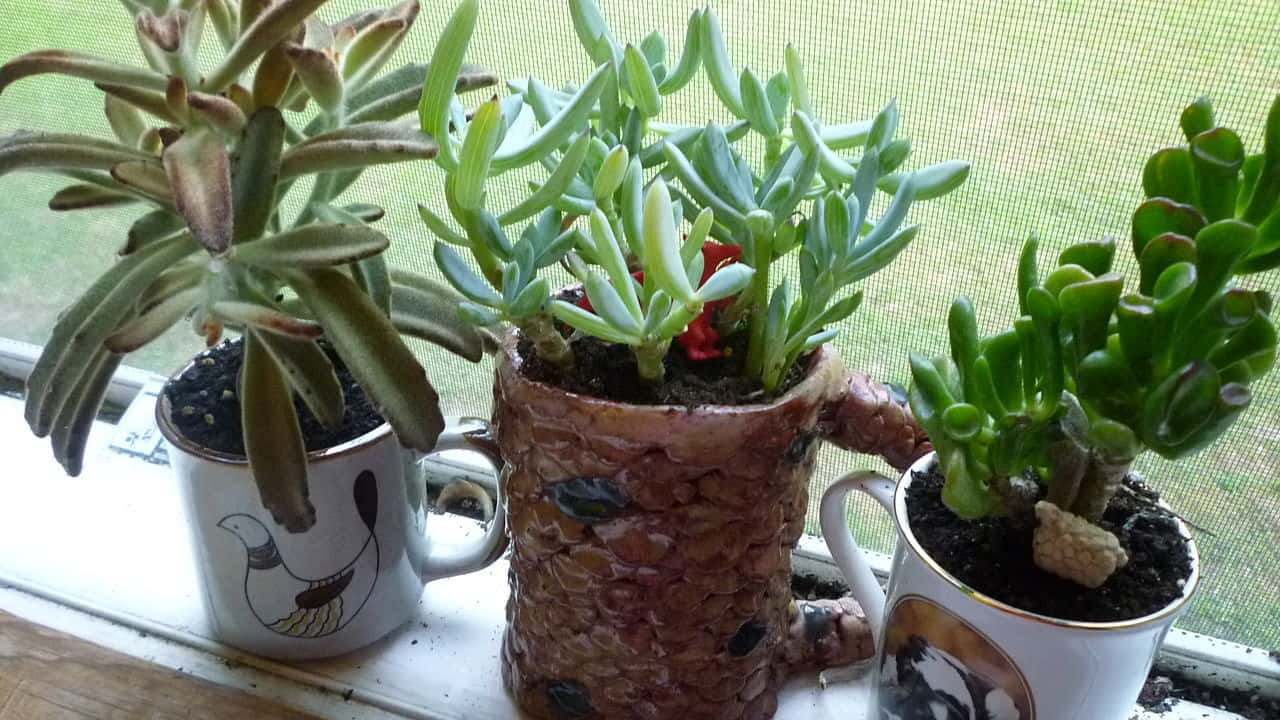 fastest growing succulents
