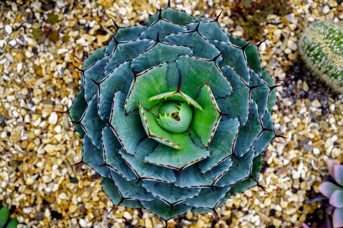 10 Blue Succulents You Ll Love Planted Shack