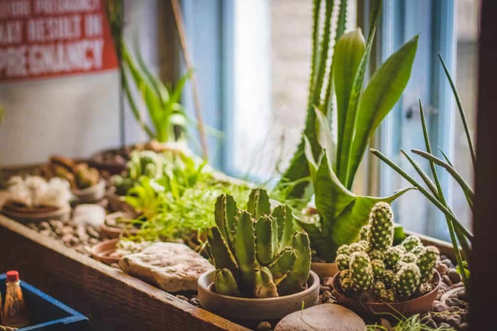 Difference between Succulents and Cacti