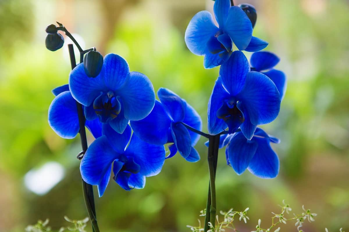 How Much Light Do Phalaenopsis Orchids Need