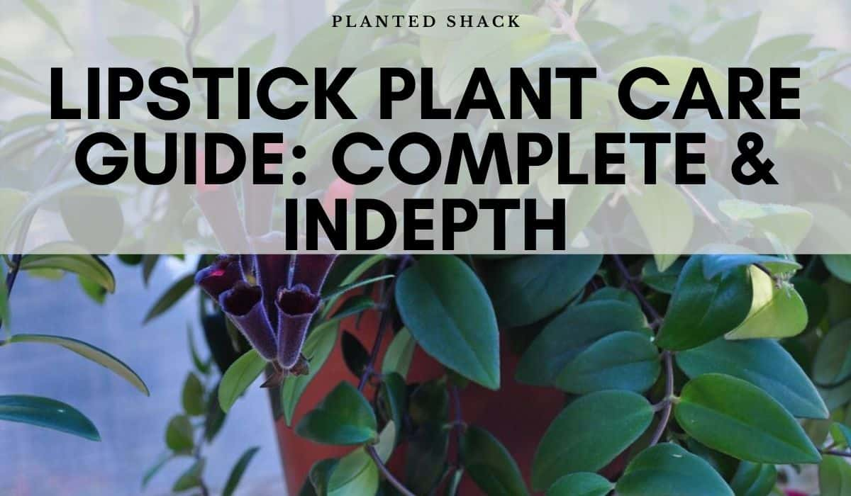 Lipstick Plant Aeschynanthus Radican S Care Guide Planted Shack