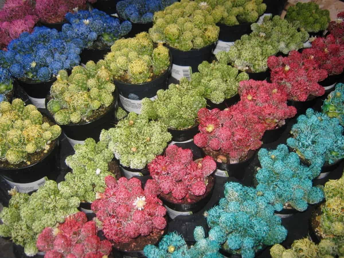 How To Dye Succulents With Food Coloring Without Killing Them Planted Shack