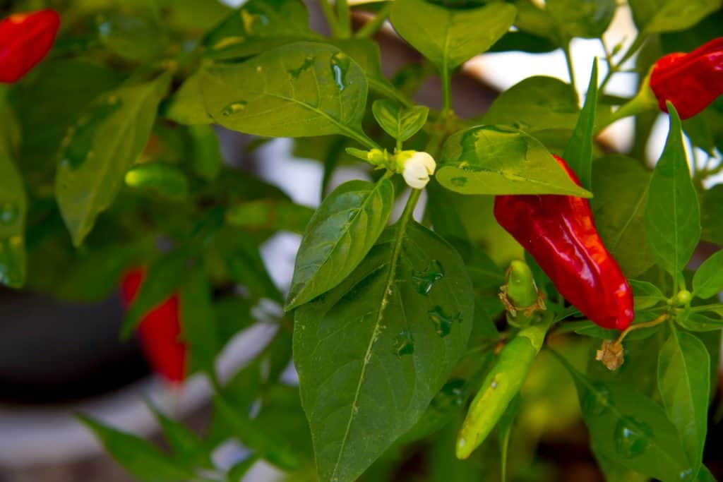 How to Overwinter Pepper Plants