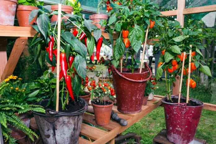 How Often To Water Pepper Plants