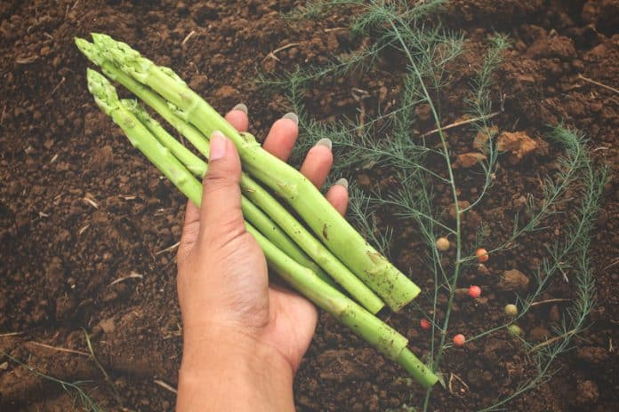 Should You Let Asparagus Go to Seed
