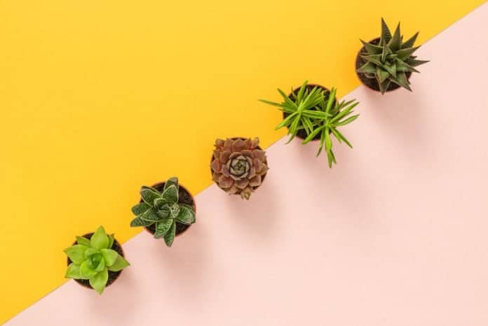Why Succulent Leaves Turn Yellow