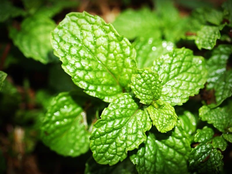 how often to water mint