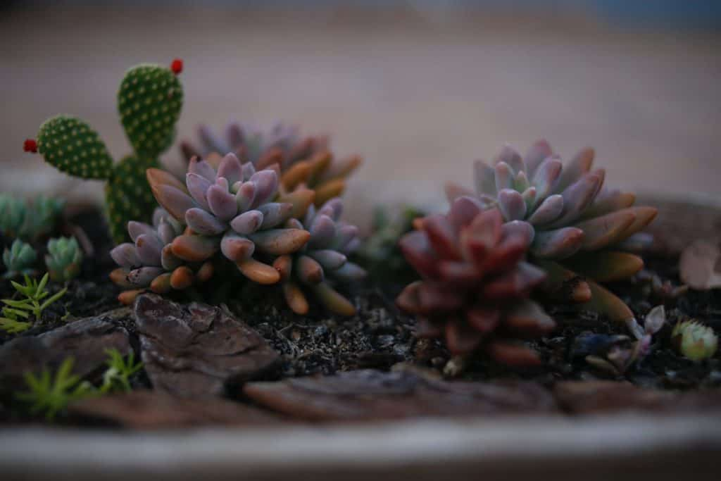 Will Succulent Plants Grow In The Shade