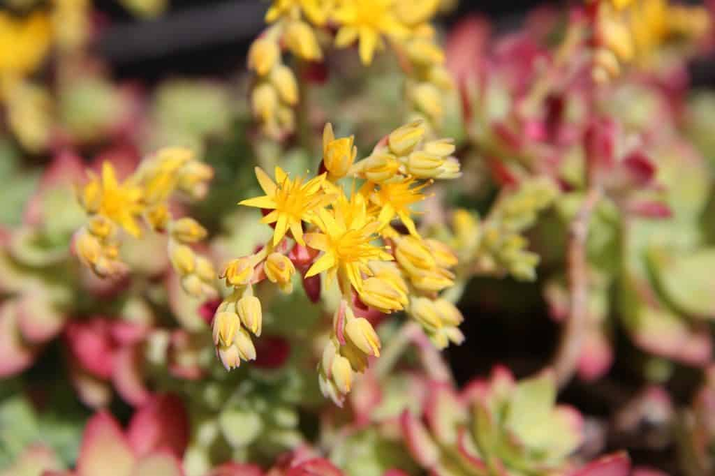 10 Great Succulent With Yellow Flowers