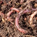 Are Earthworms In Potted Plants A Good Thing