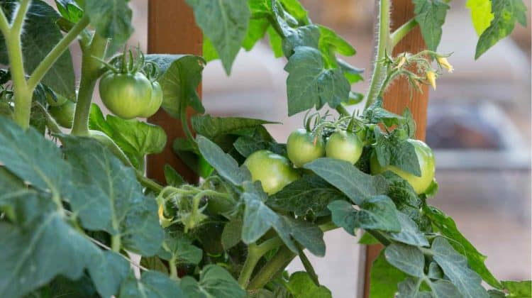 How Long After Flowering do Tomatoes Appear