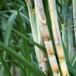 How Long Does It Take To Grow Sugar Cane?