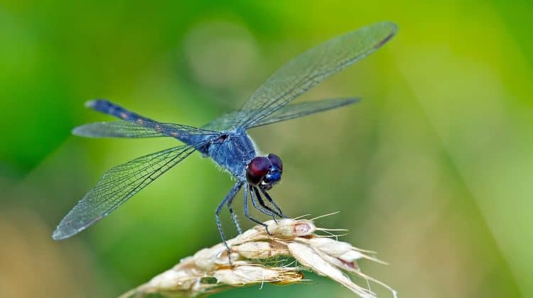 Can You Buy Dragonflies Online