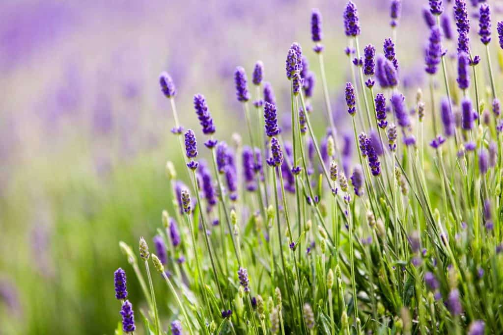 Is Lavender an Herb