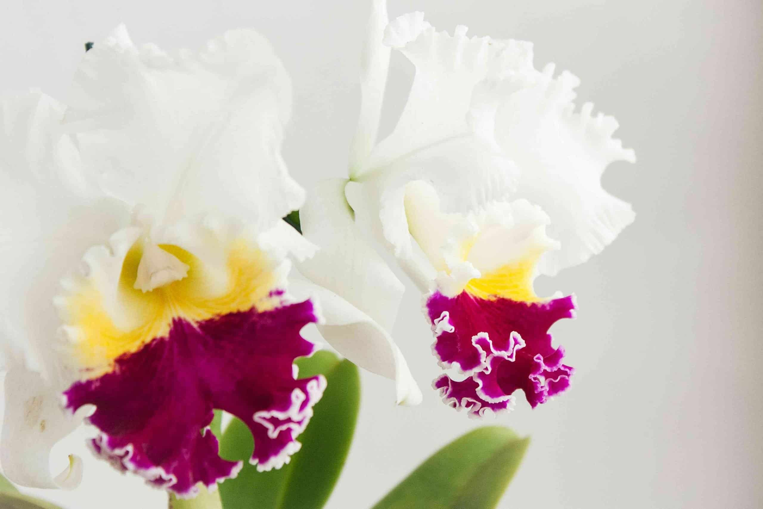 Cattleya Orchids Blooming Time