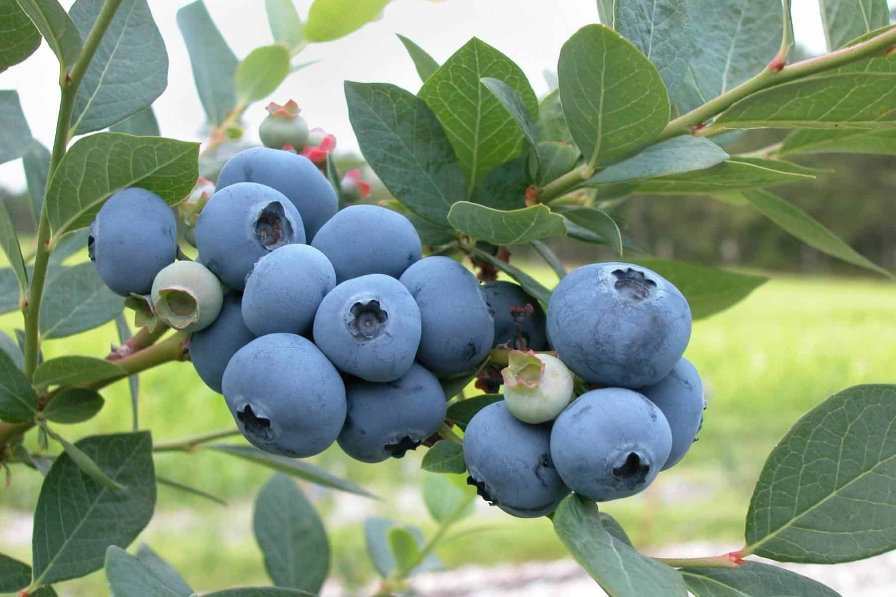 Do Blueberries Have Seeds?