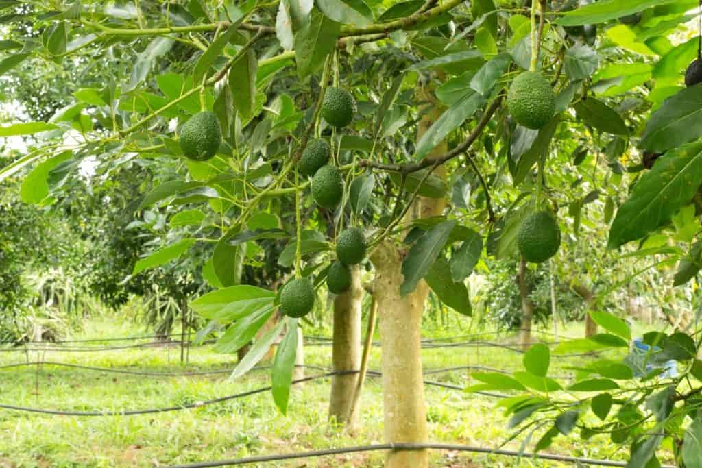 How Big Can An Avocado Tree Get