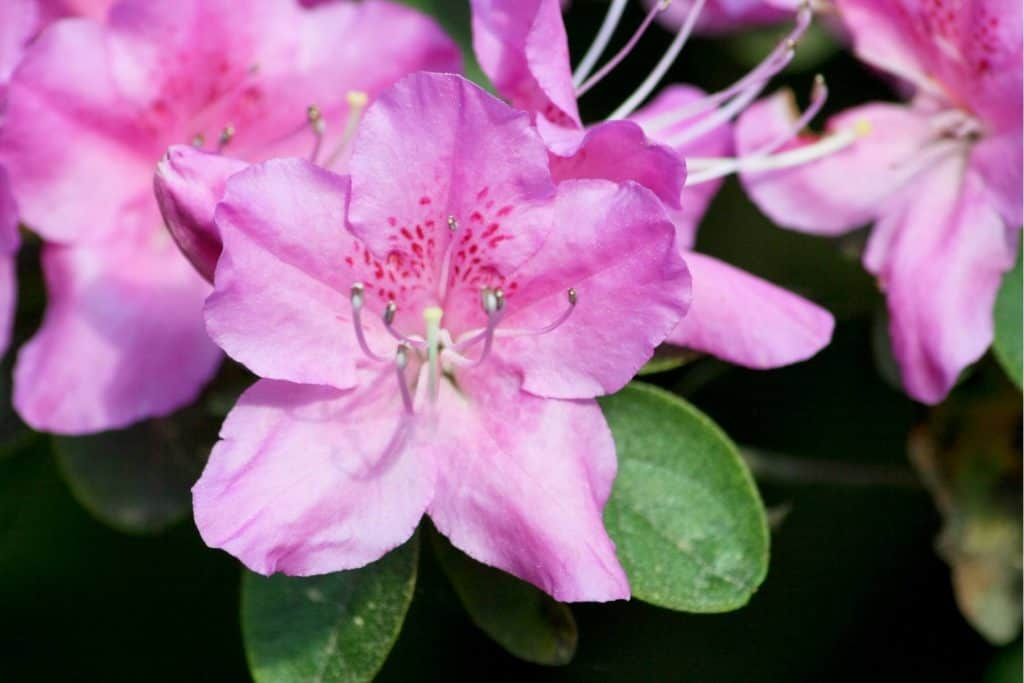 How Fast do Rhododendrons Grow