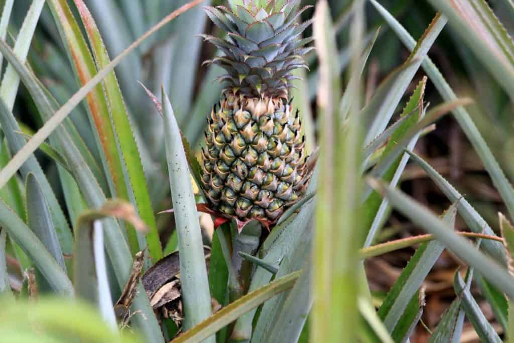 How Long Does it Take to Grow a Pineapple