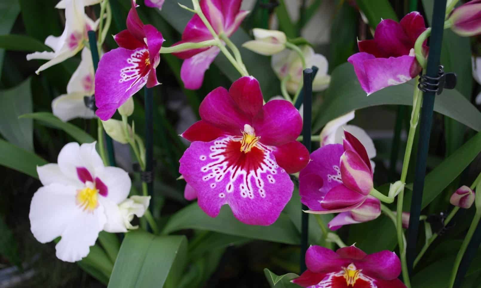 Miltonia Orchids Blooming Time