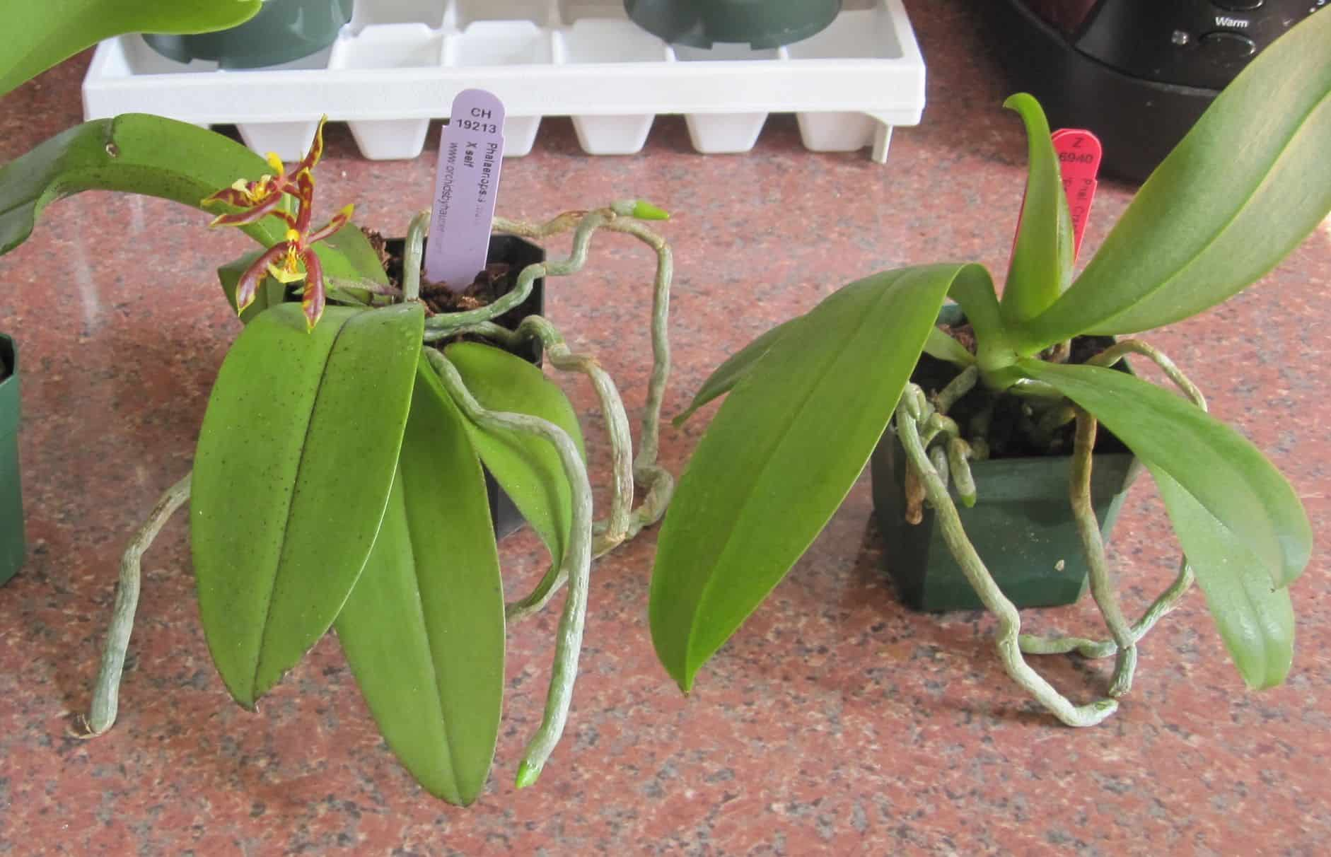 Orchid With Air Roots