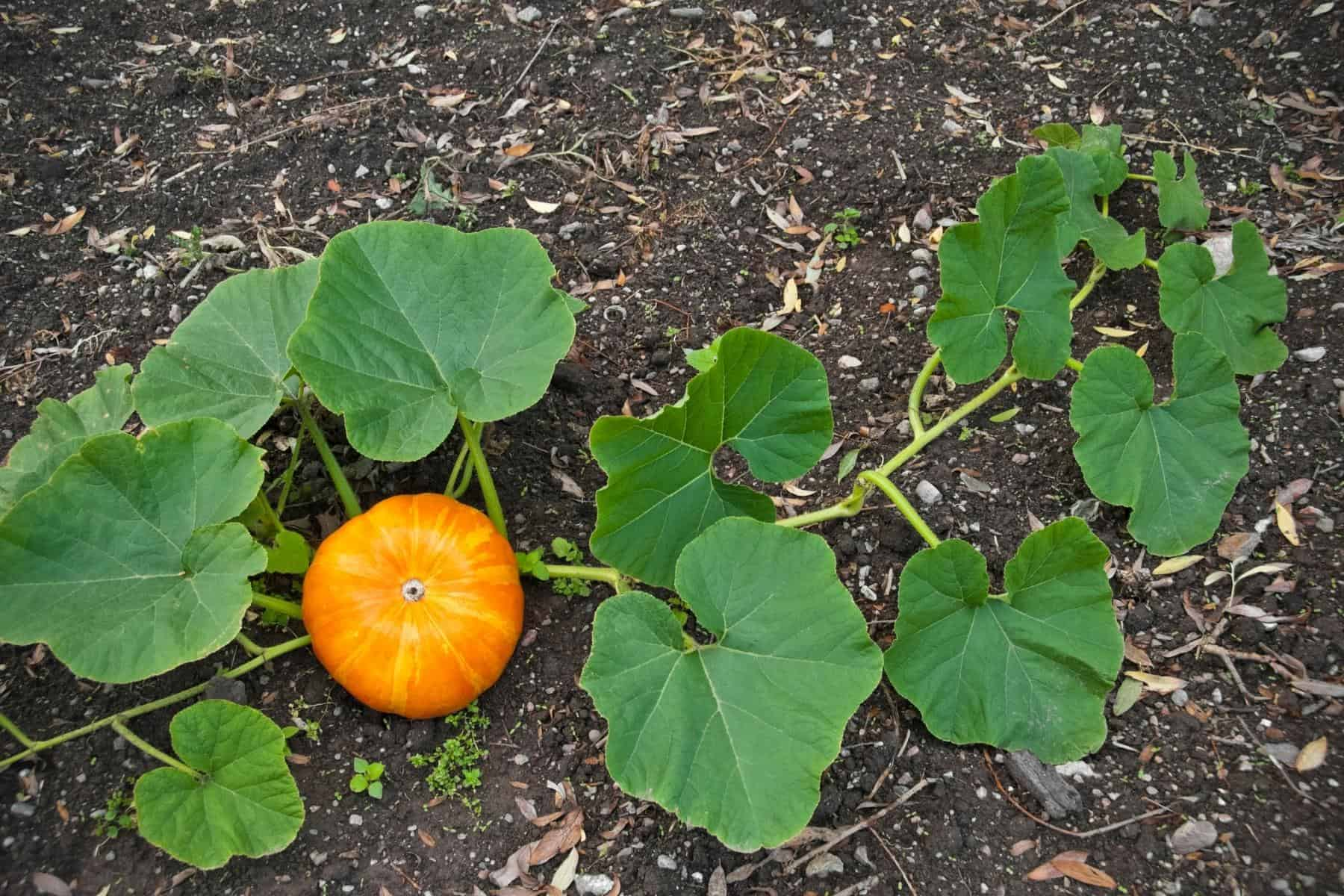 Pumpkin Growing Stages