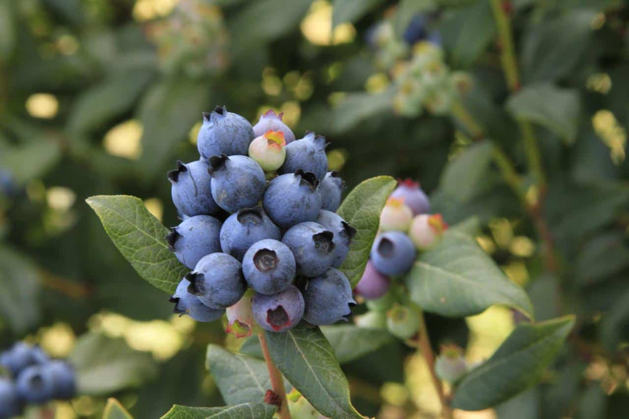 Tips for Growing Blueberry Seeds