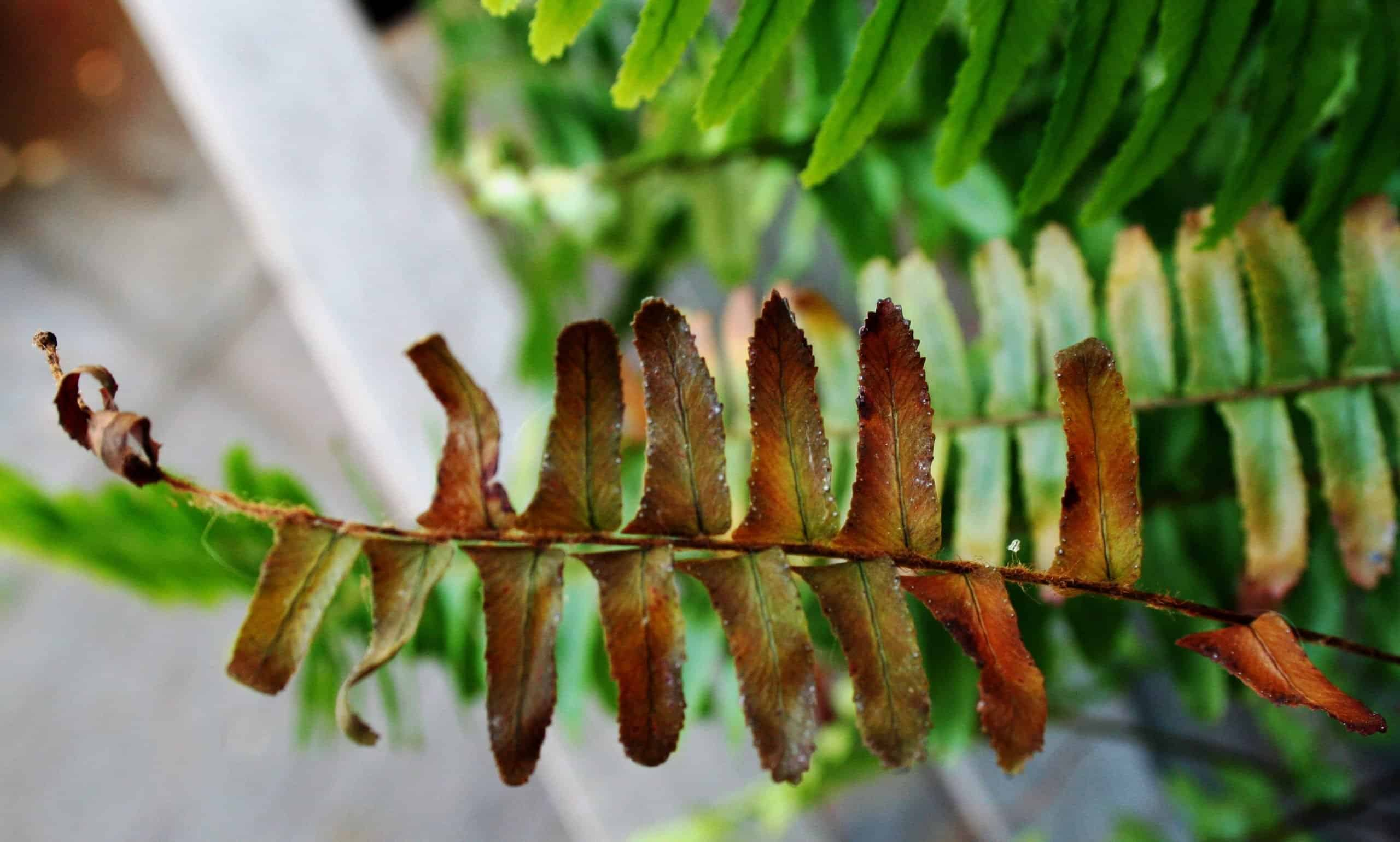 Why Your Fern Is Dying