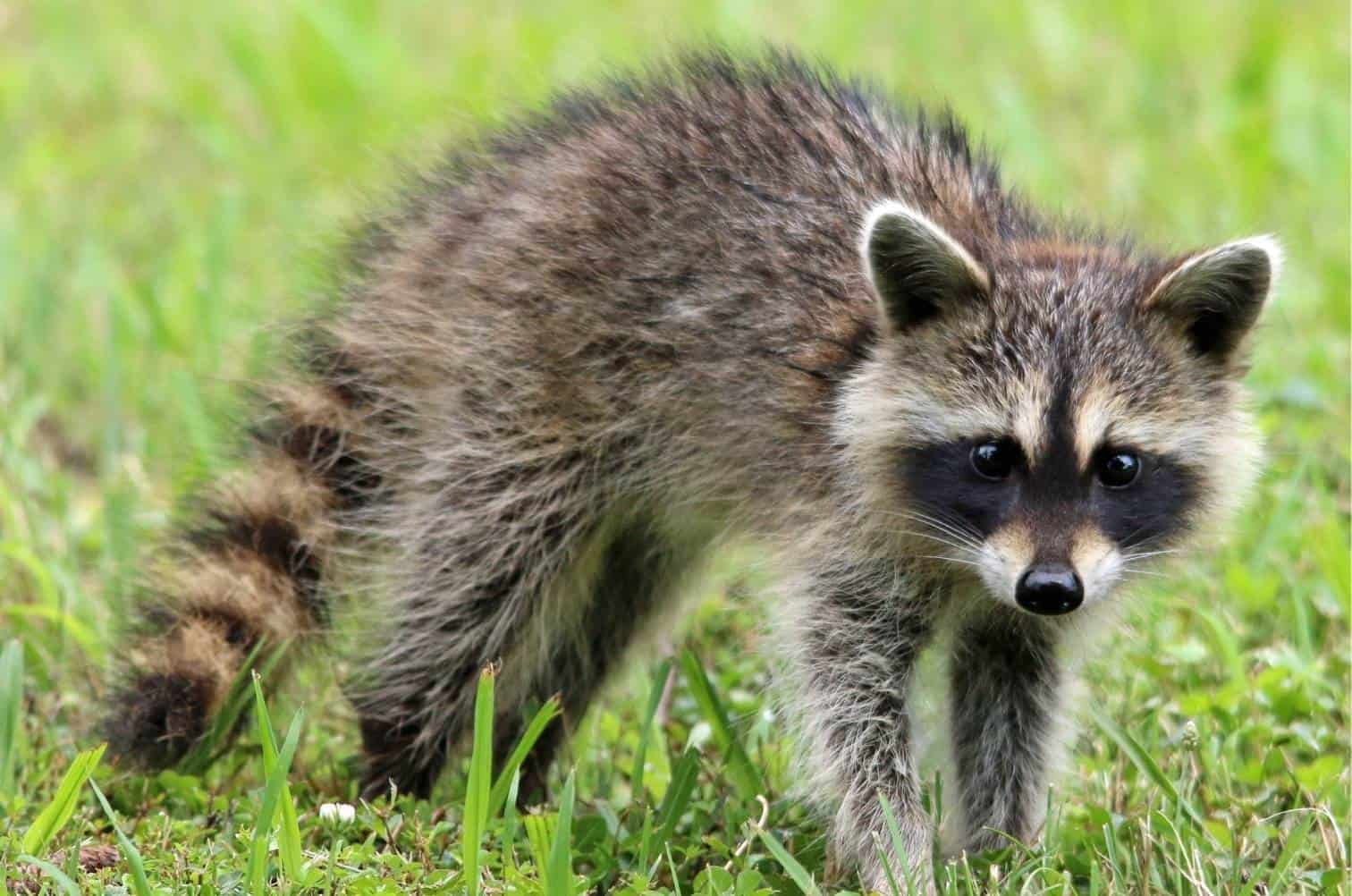 Do Raccoons Dig Up Lawns