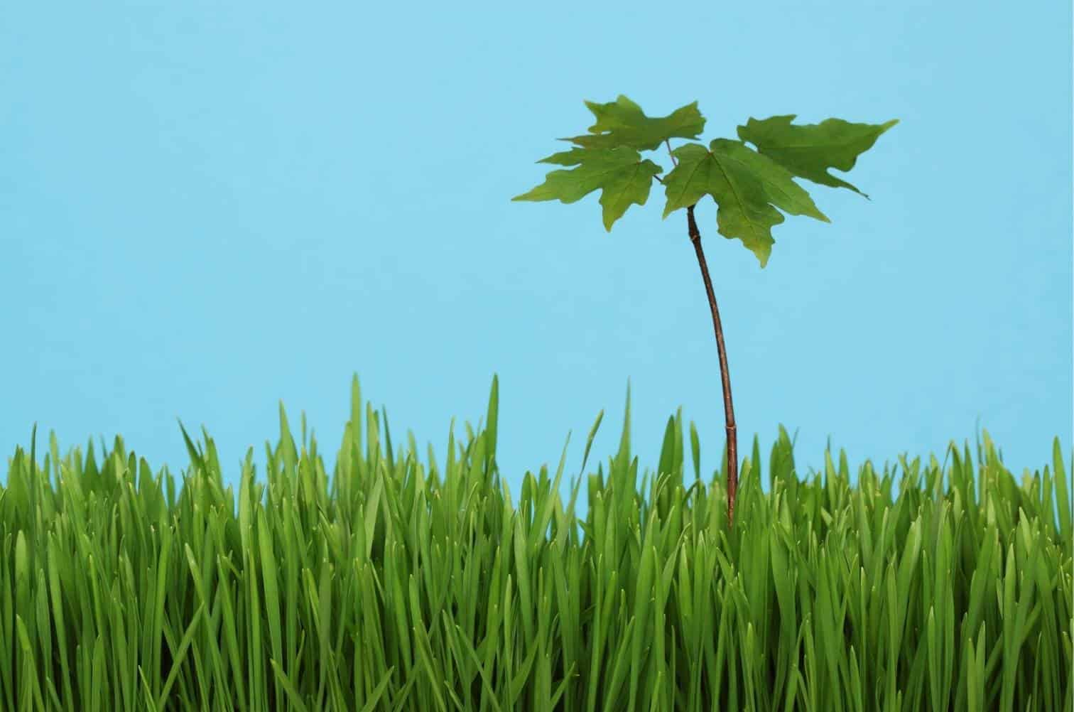 How To Get Rid of Maple Tree Seedlings in Lawn