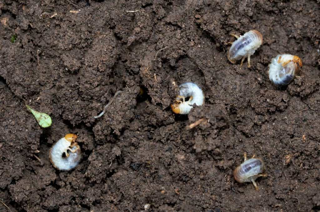 How to Determine if a Lawn Has Grubs