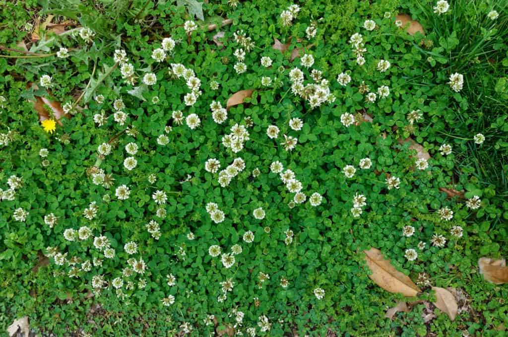 How to Stop Clover Plants From Growing in Your Lawn