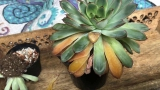 How to Spot an Overwatered Succulent + 4 Tips to Save It