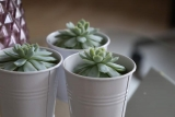 Why Are Succulents Called Succulents?
